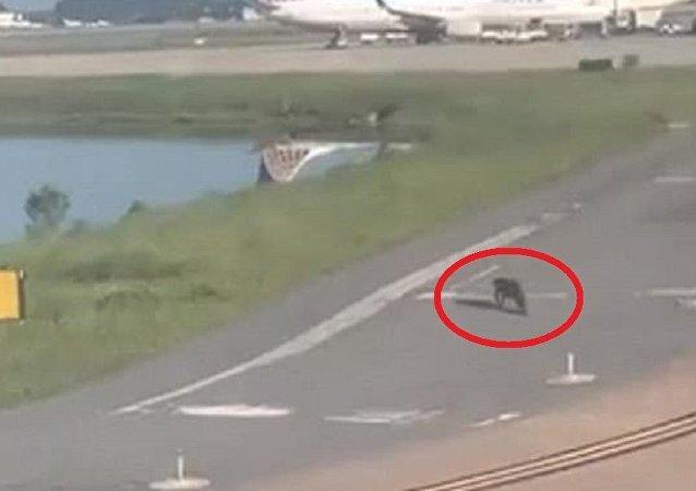 تأخر هبوط طائرة بسبب تمساح