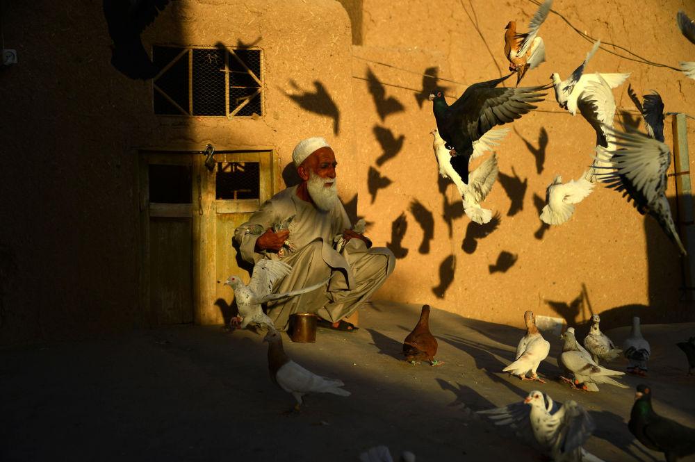 مربي الحمام الأفغاني عبد الغني، 70 عاما، يطعم حمامه الذي كان يطير من سطح منزله في مقاطعة هرات، أفغانستان 30 يونيو/ حزيران 2018