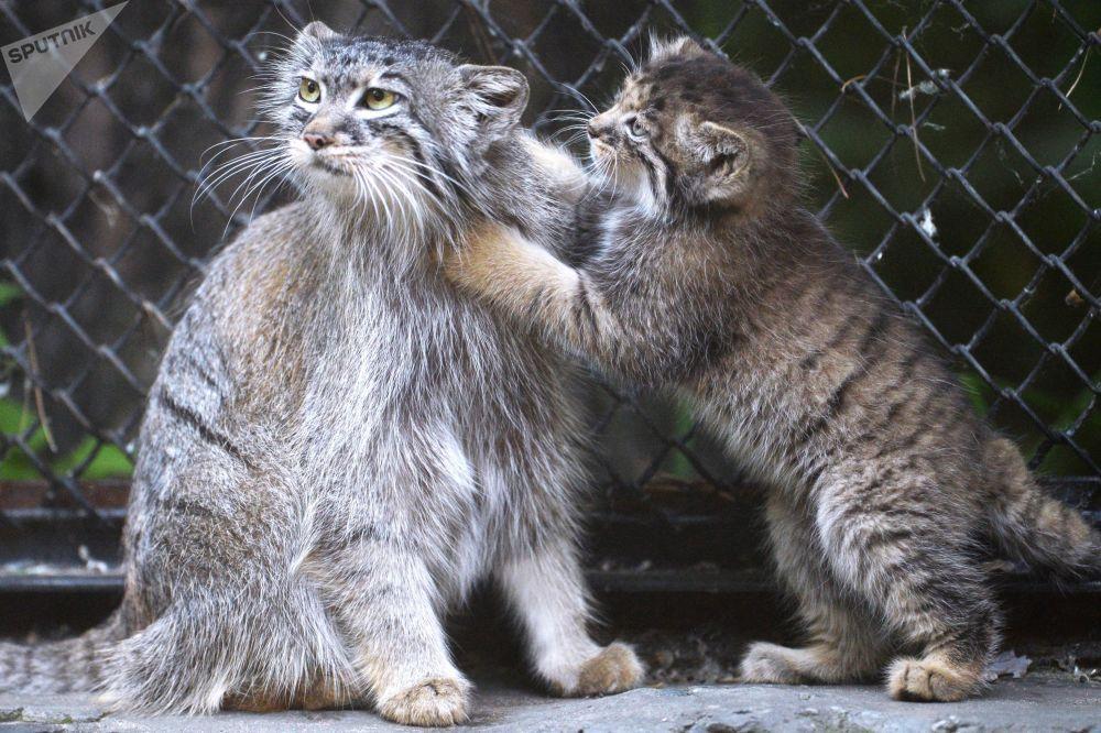 أنثى القط من فصيلة مانولا مع هرير صغير التي ولدت في مايو/ أيار 2018، في الهواء الطلق بحديقة الحيوان باسم ر. أ. شيلة في نوفوسيبيرسك