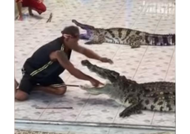 تمساح يهاجم مدربه