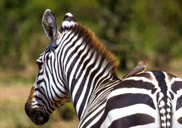حمار وحشي في حديقة الحيوانات ماساي-مارا في كينيا