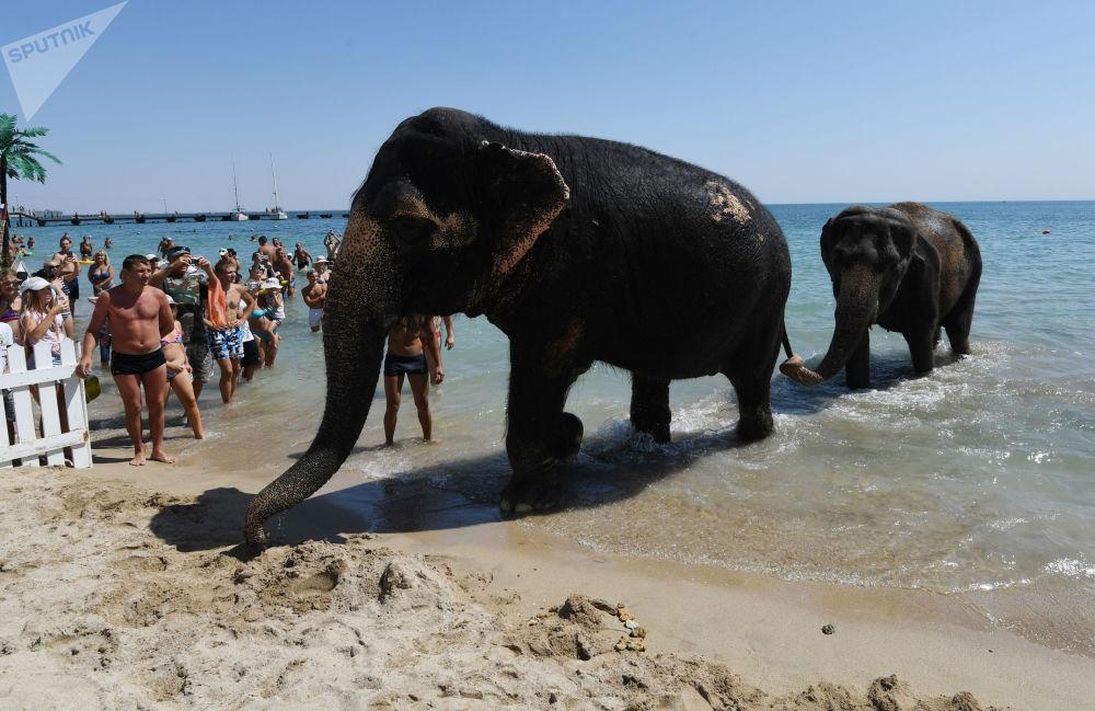 الفيلة الهندية جيني وماجدة، من عرض سيرك، تتجهان إلى الشاطئ بعد السباحة في البحر في يفباتوريا، القرم