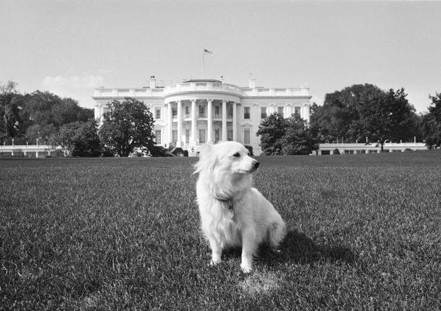 كلب الرئيس الأمريكي جون كينيدي، هدية من الزعيم السوفيتي نيكتا خروشوف، في البيت الأبيض 14 أغسطس/ آب 1963