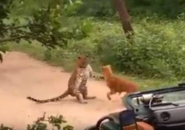 مواجه بين كلب ونمر