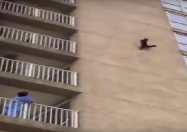 راكون يقفز من الطابق التاسع