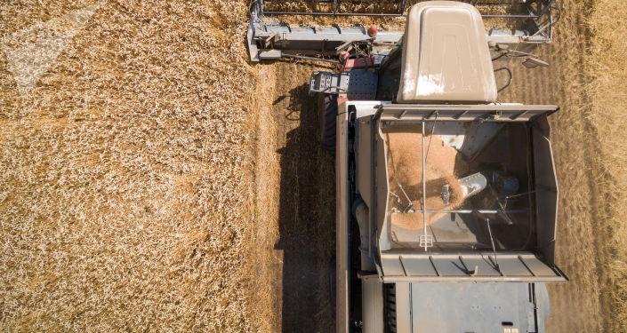 روسيا: حصاد محصول القمح