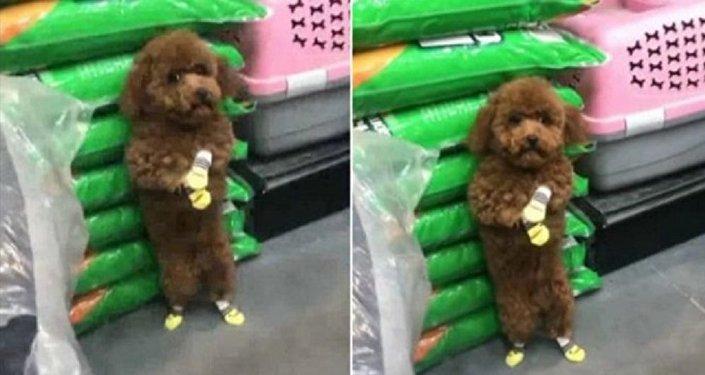 شاهدة عقوبة كلب قام بالتبول على منتجات أحد المحال التجارية