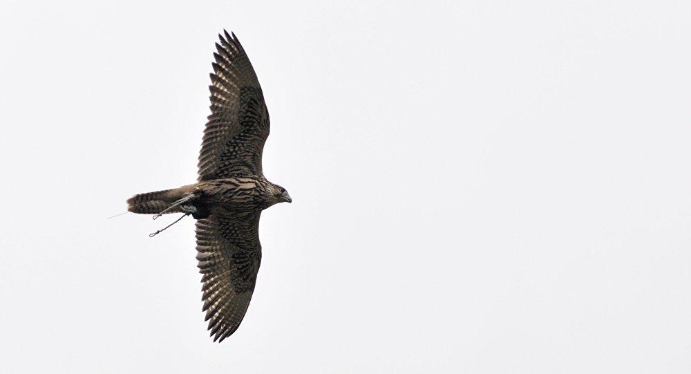 بالفيديو... لحظة فقس طائر من فصيلة الصقور التي أهداه بوتين للملك سلمان