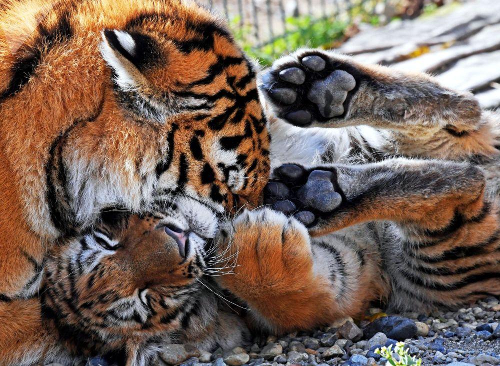أنثى النمر أليكسا وشبلها آمور اسمه تايغان، جلبت من حديقة القرم تايغان، في قفص في الهواء الطلق في إقليم حديقة الحيوانات سادغورود في فلاديفوستوك