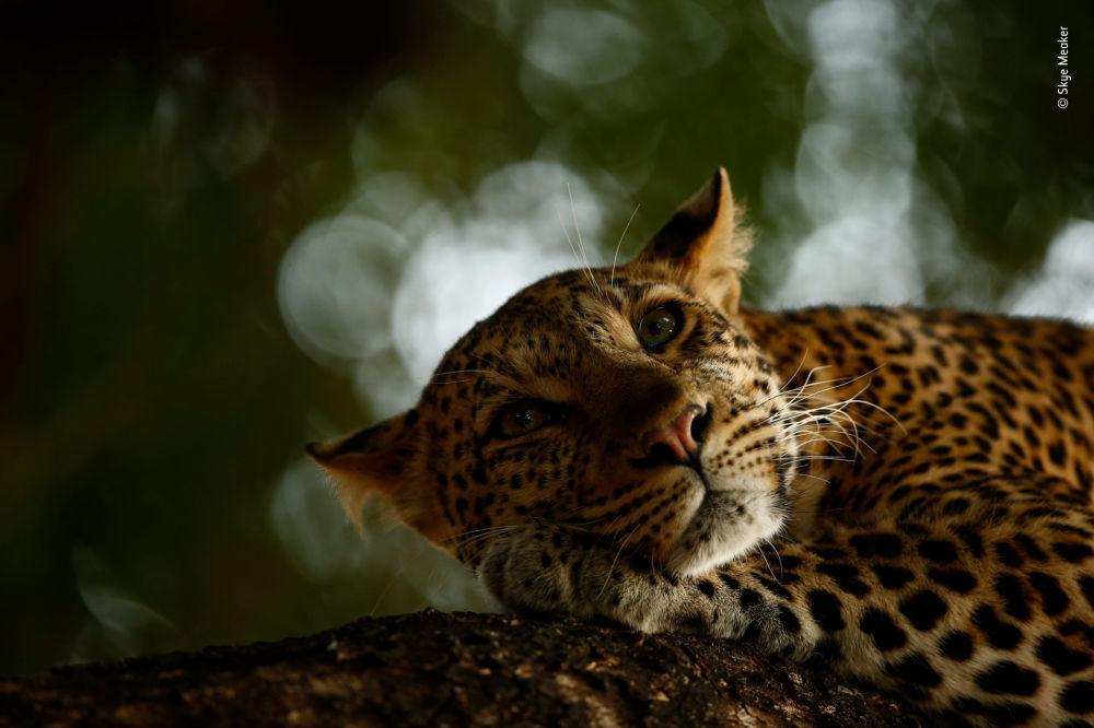 صورة (Lounging leopard)، للمصور سكاي ميكير من جنوب أفريقيا، الفائز في فئة الفئة العمرية 15-17 عام بالمسابقة
