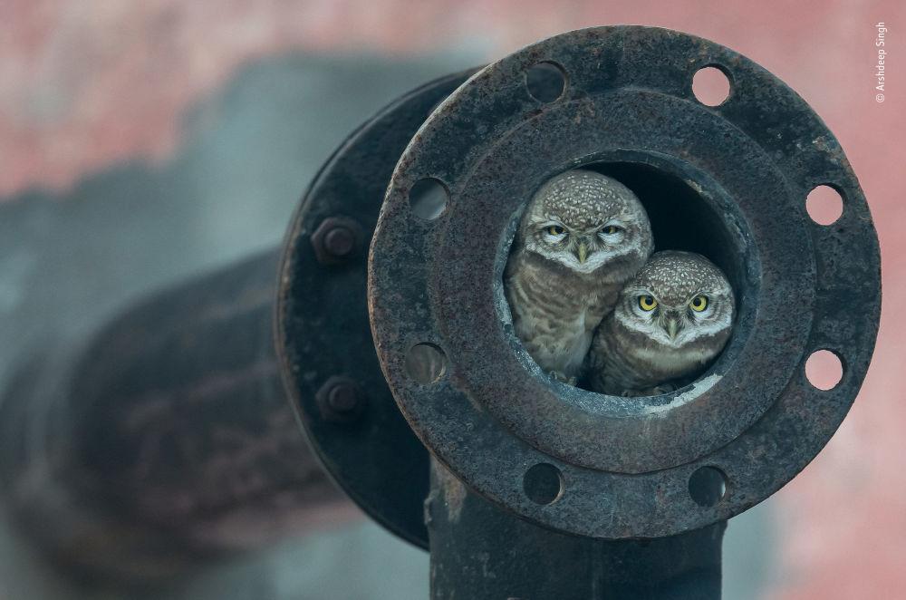 صورة (Pipe owls)، للمصور أرشديب ساي من الهند، الفائز في فئة 10 أعوام وما تحت  بالمسابقة