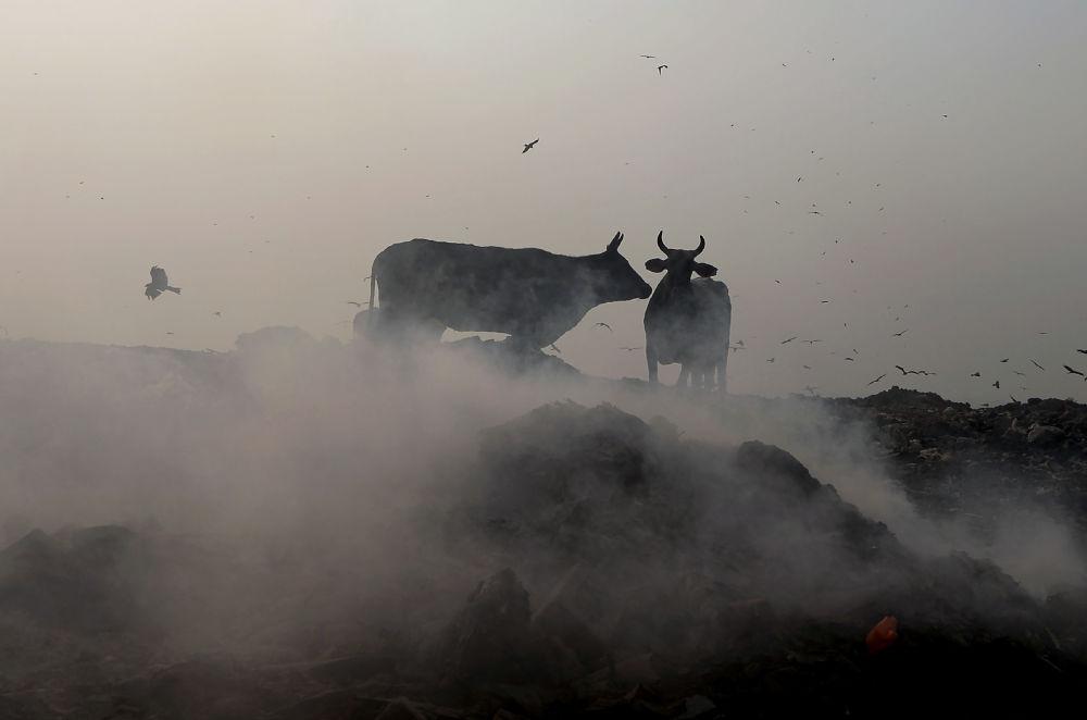 أبقار هندية على خلفية أدخنة متصاعدة في حقل بهالسوا في نيودلهي، 29 أكتوبر/ تشرين الأول 2018