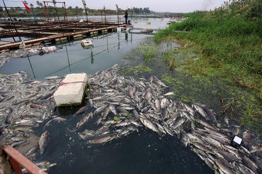 أسماك نهر دجلة النافقة في العراق