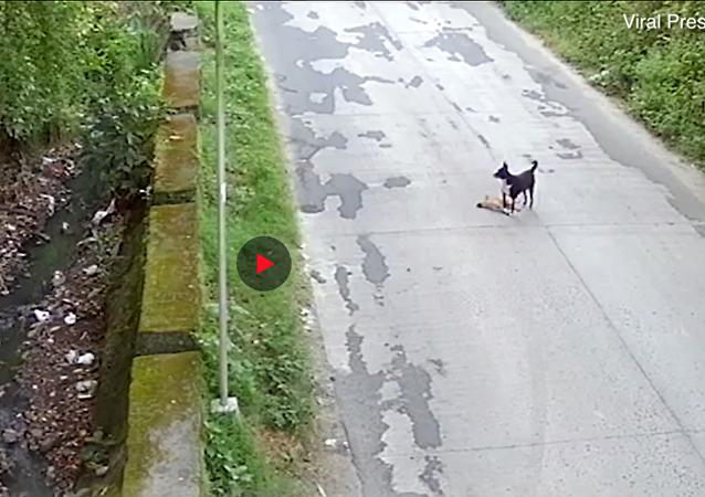مشاهد مؤثرة لكلب يحاول إنقاذ صديقه بعد أن صدمته سيارة