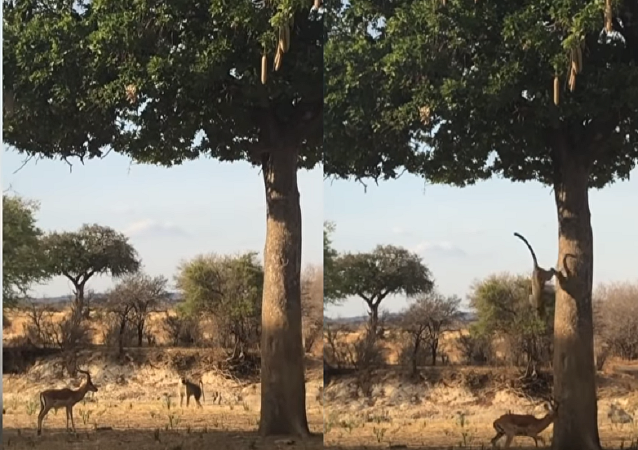 نمر ينقض على فريسته من الشجرة أمام أعين السياح