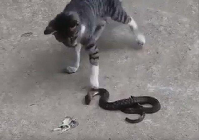 قطة وثعبان في مواجهة شرسة