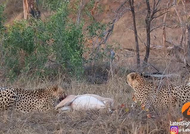 ضباع تهاجم نمورا وتستولي على فريستهم وتمزقها وهي حية أمام أعين السياح