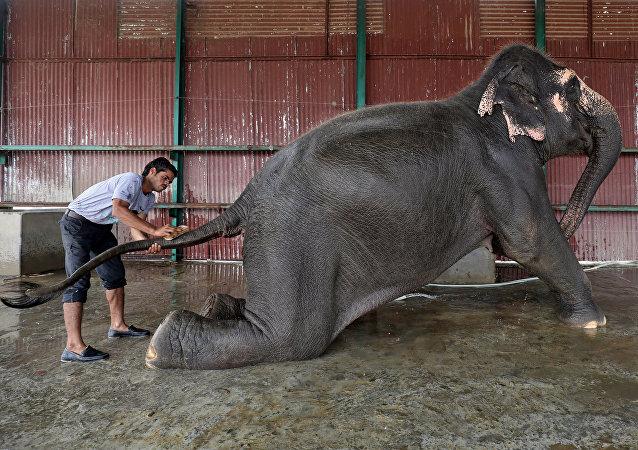 أنثى فيل تتلقى حماما من جانب أحد العاملين في أول مستشقى للفيلة في الهند
