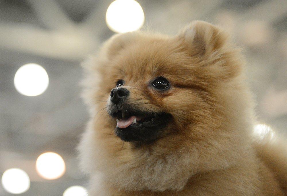 معرض الكلاب في موسكو، كلب من نوع بوميرانيا سبيتز