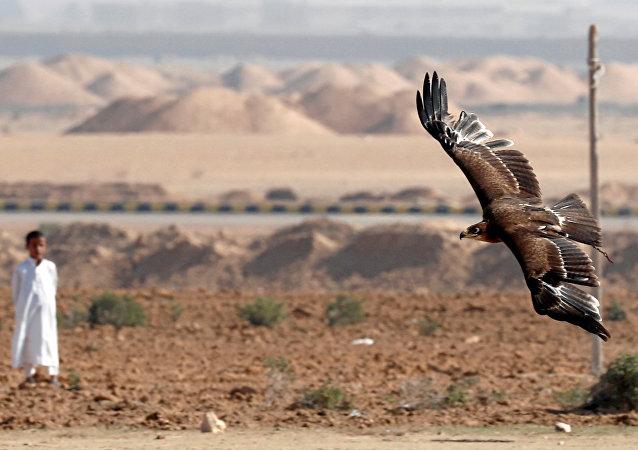 فتى بدوي ينظر إلى الصقر خلال احتفاله مع الأندية المصرية والمشجعين في يوم الصقارة العالمي في صحراء برج العرب بالإسكندرية