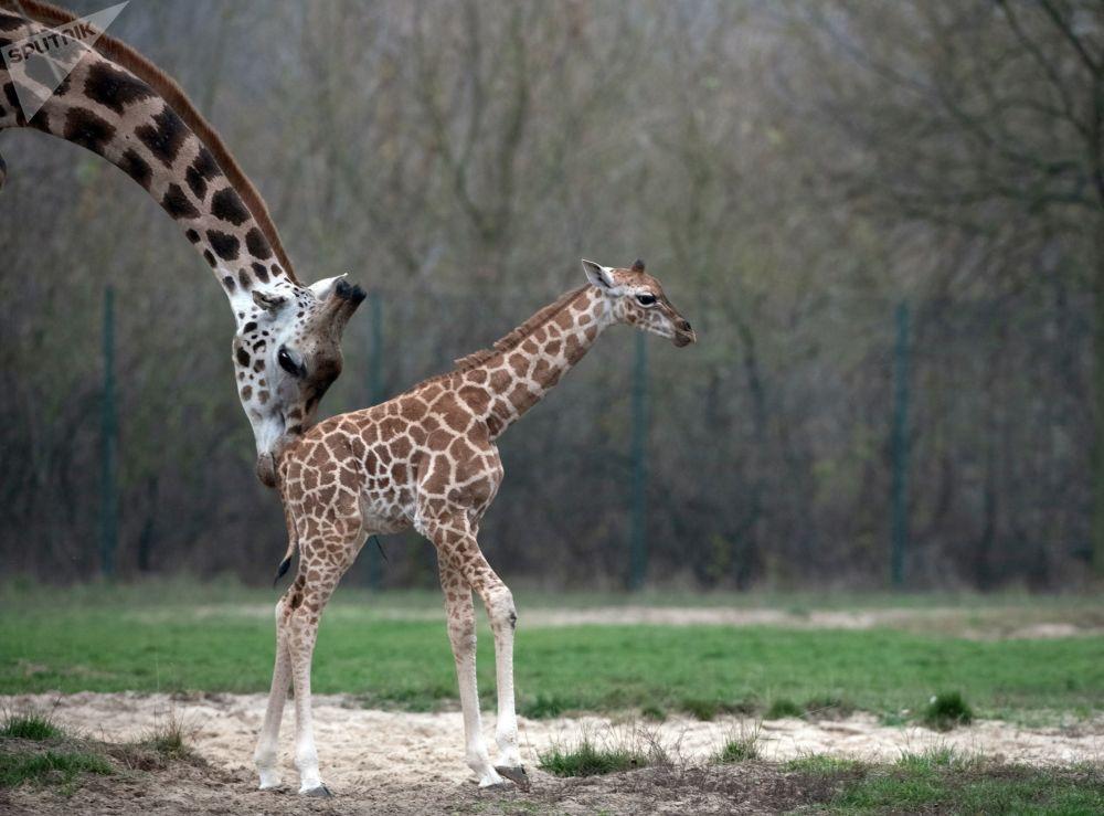 زرافة حديثة الولادة مع والدتها في حديقة الحيوانات في بيلاروسيا، 3 نوفمبر/ تشرين الثاني 2018