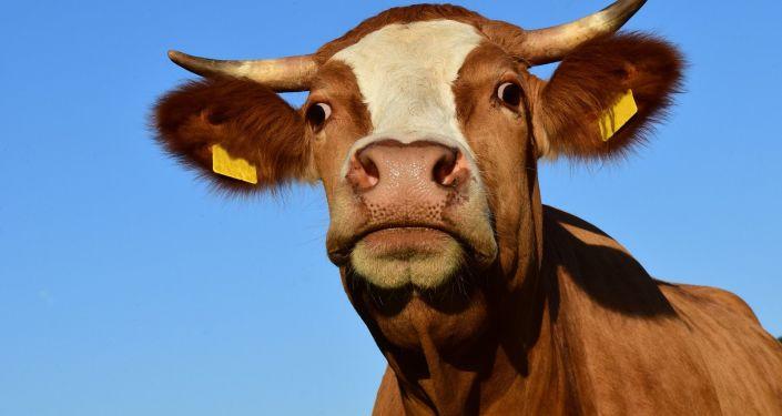 عشرات الأبقار تعلق على أسطح المنازل بسبب الفيضانات في كوريا الجنوبية… صور
