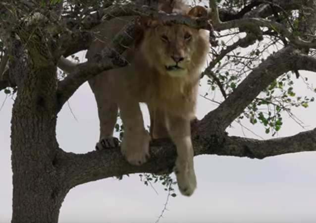 أسد جبان خائف من النزول من الشجرة أصبح عار على جنسه