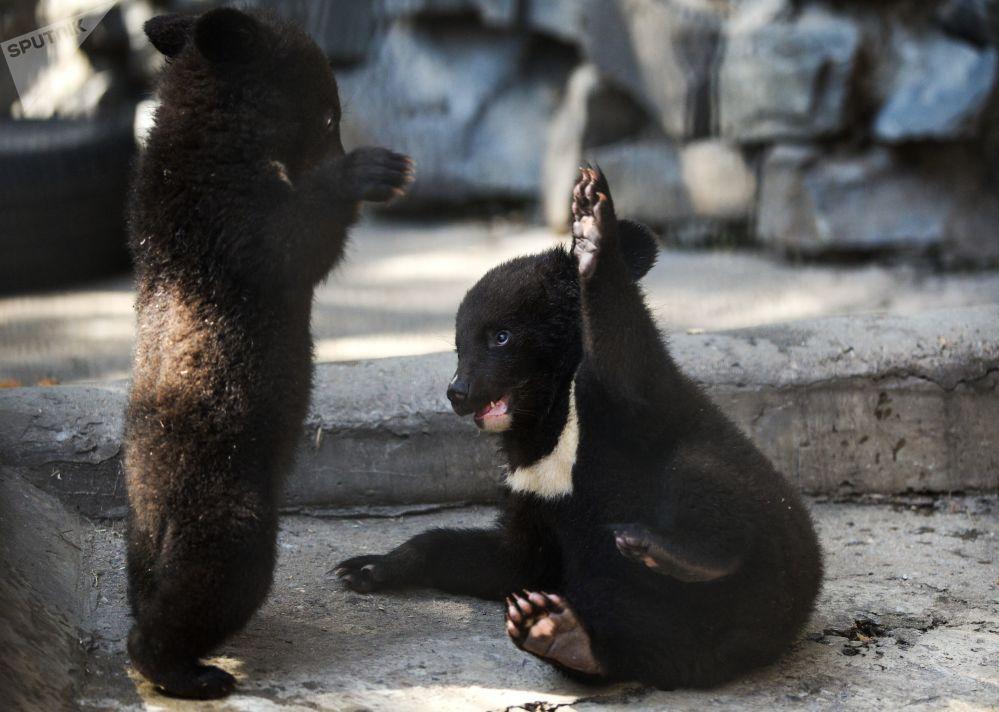 دببة الهملايا في حديقة الحيوانات في نوفوسيبيرك