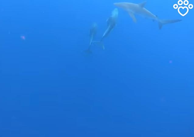 مجموعة من الدلافين تهاجم قرشا وتمنعه من افتراس الغواصين