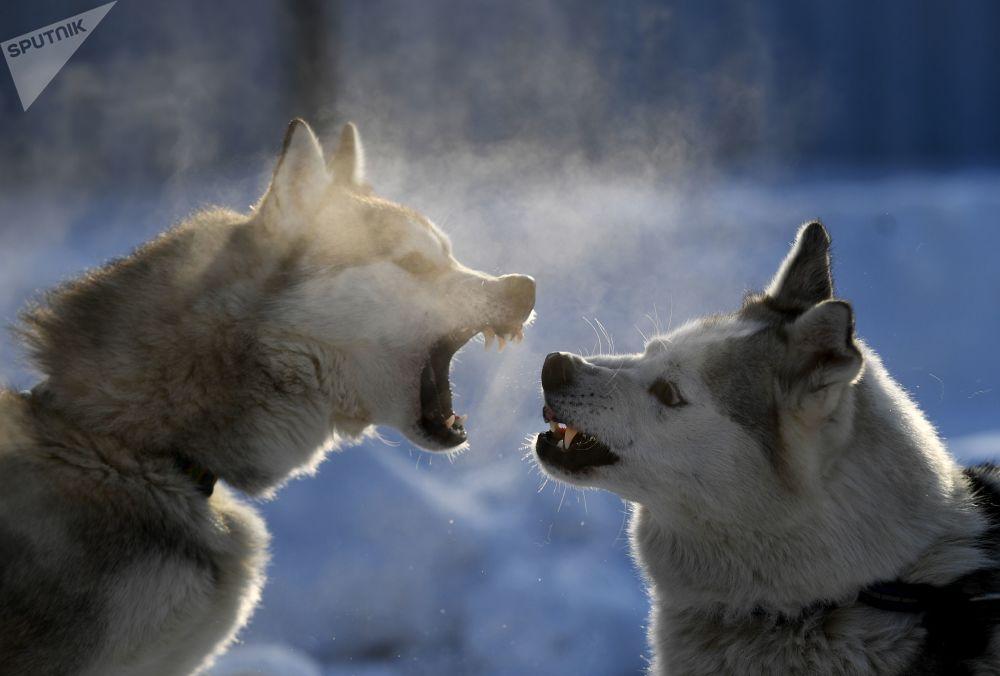 كلاب الهاسكي تنبح على بعضها البعض في بلدة بردسك، منطقة نوفوسيبيرسك الروسية