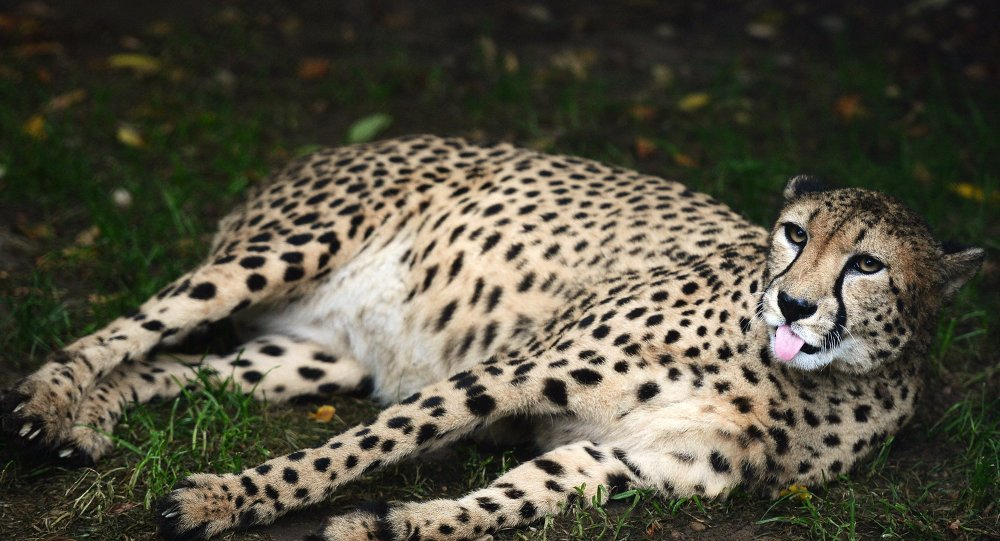 A cheetah at the Moscow Zoo.