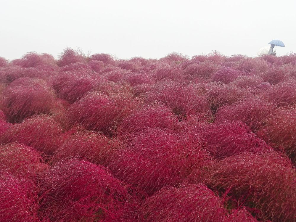 هيتاشي ناشيونال سيسايد بارك، تقع في هيتاتيناكا، اليابان