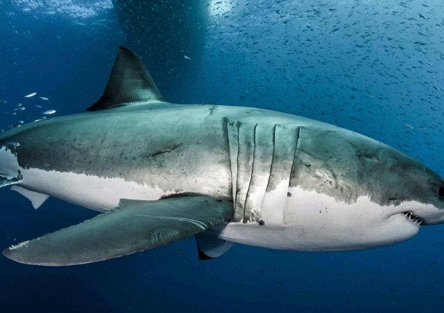 سمكة القرش الأبيض الضخمة