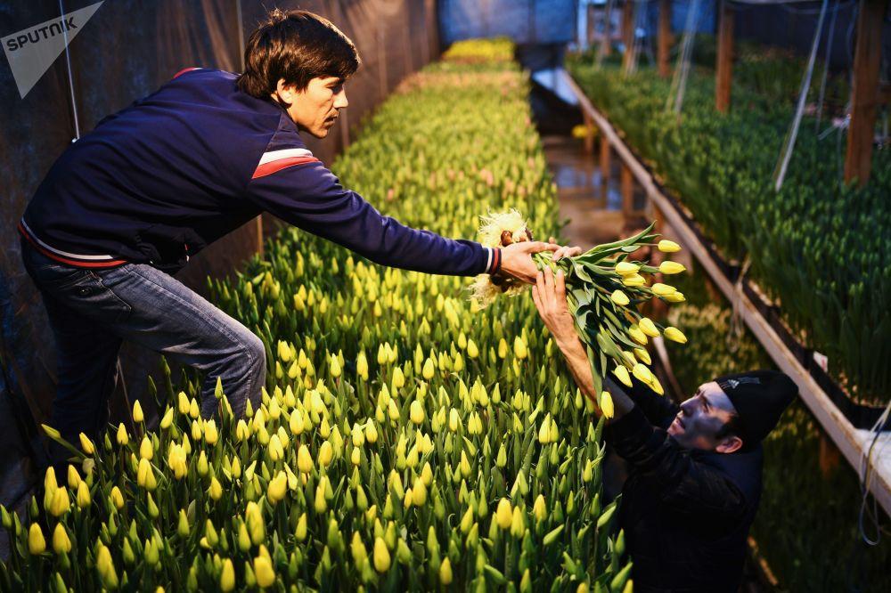 موظفون يجمعون أزهار توليب، ويستعدون لاستقبال الربيع، ولأهم حدث شهر مارس/ آذار القادم - ألا وهو يوم المرأة العالمي (8 مارس)، نوفوسيبيرسك، روسيا