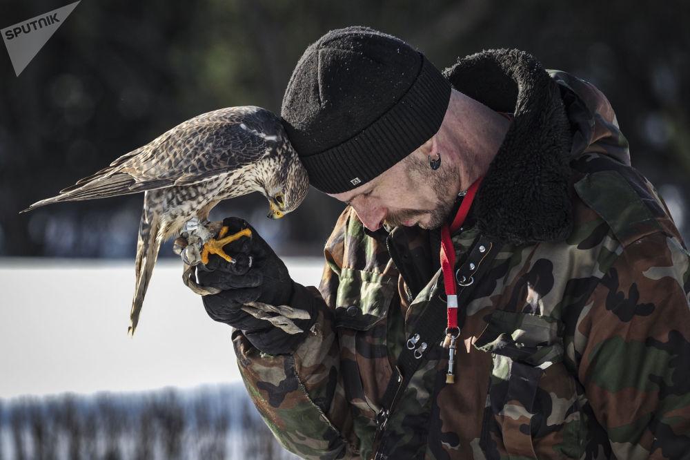 عرض لطيور الصقور سوكول شو (عرض الصقور) في حديقة سوكولنيكي في موسكو