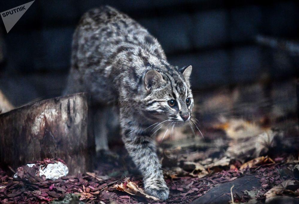 القط النمري في حديقة موسكو للحيوانات