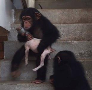 كاد على وشك الموت.. فرعته قردة الشمبانزي