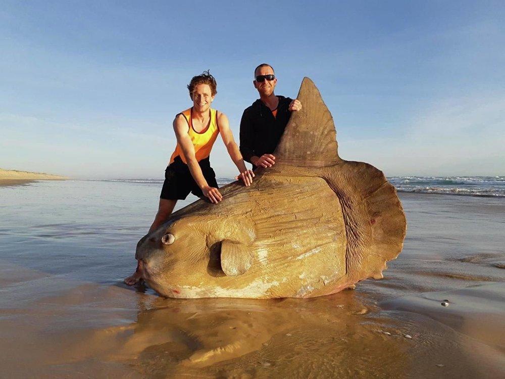في أستراليا، صيادون يصطادون سمكة عملاقة