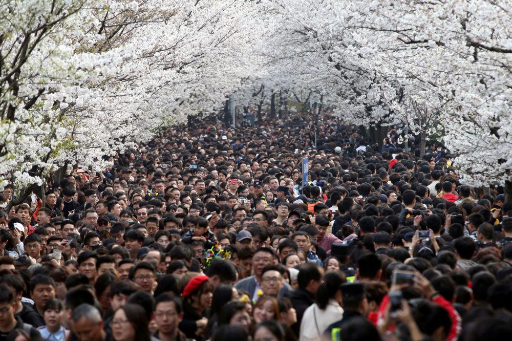تفتح أزهار شجر الكرز (ساكورا) بالقرب من معبد جيمينغ في نانجينغ، الصين 23 مارس/ آذار 2019