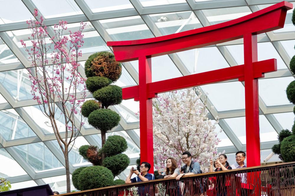 تفتح أزهار شجر الكرز (ساكورا) في سنغافورة 24 مارس/ آذار 2019