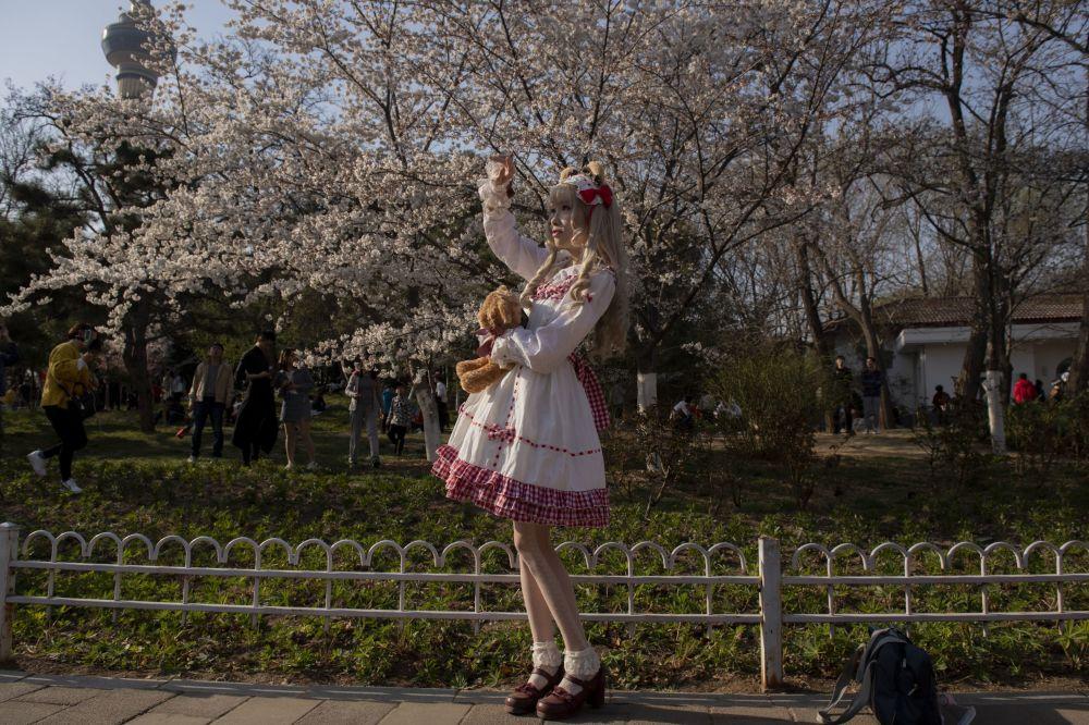 تفتح أزهار شجر الكرز (ساكورا) في بكين، الصين 24 مارس/ آذار 2019