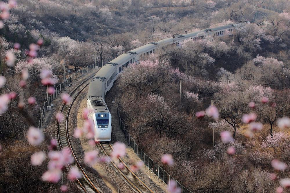 تفتح أزهار شجر الكرز (ساكورا) في بكين، الصين 18 مارس/ آذار 2019