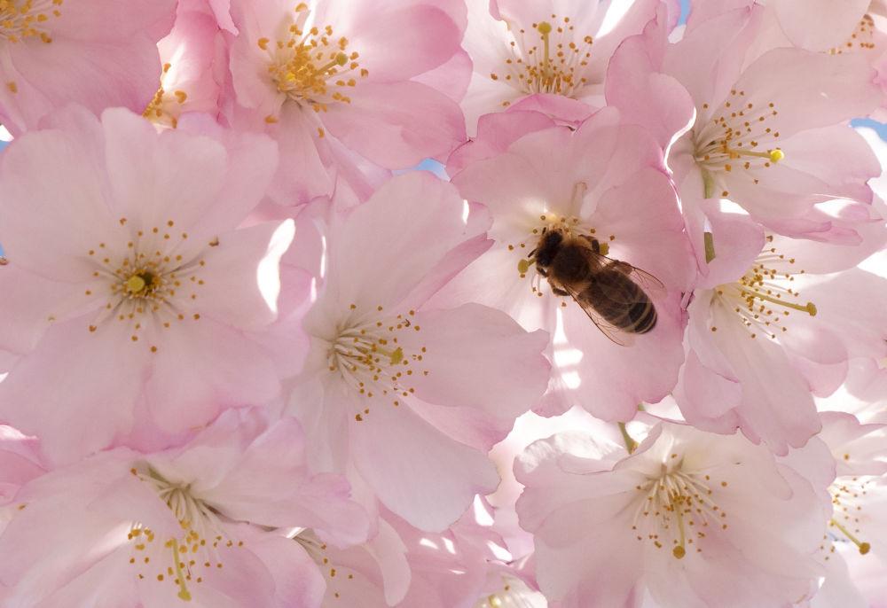 تفتح أزهار شجر الكرز (ساكورا) في فينا، النمسا 22 مارس/ آذار 2019