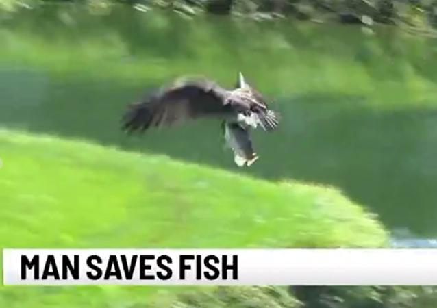 لاعب غولف ينقذ سمكة بعد افلاتها من مخالب صقر جارح