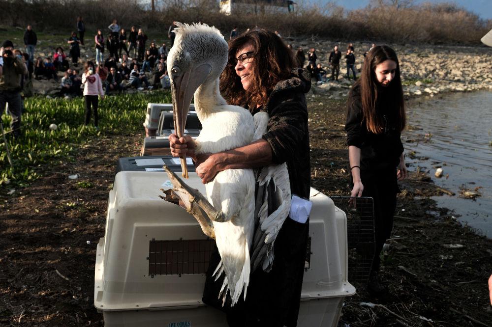 موظفة في هيئة المتنزه الوطني لبحيرة كركيني مع طائر البجع بين ذراعيها، أثناء إطلاق أنواع الطيور المهددة بالانقراض في البيئة الطبيعية، شمال اليونان 23 مارس/ آذار 2019