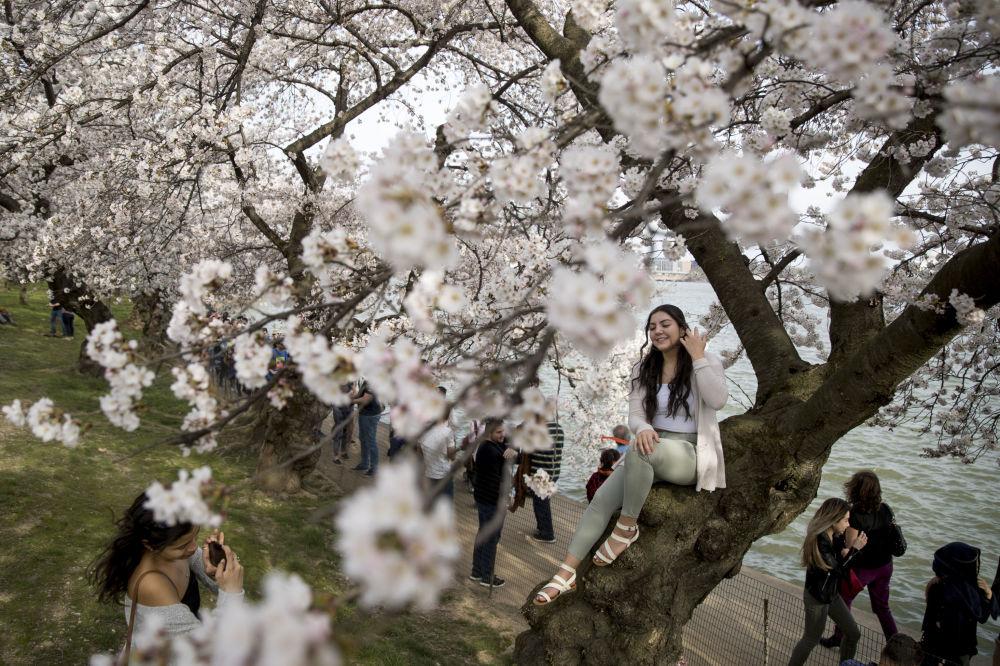 تفتح أزهار شجر الكرز على طول حوض تيدال باسين، في واشنطن 30 مارس/ آذار 2019. ذروة تفتح الأزهار المتوقعة في 1 أبريل/ نيسان، وفقا لخدمة الحديقة الوطنية