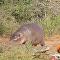صغير فرس النهر يطرد تمساحا ضخما من منطقته ومن ثم يهاجمه جاموس