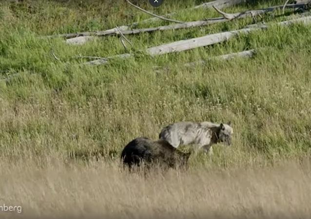 صراع بين ذئب ودبين