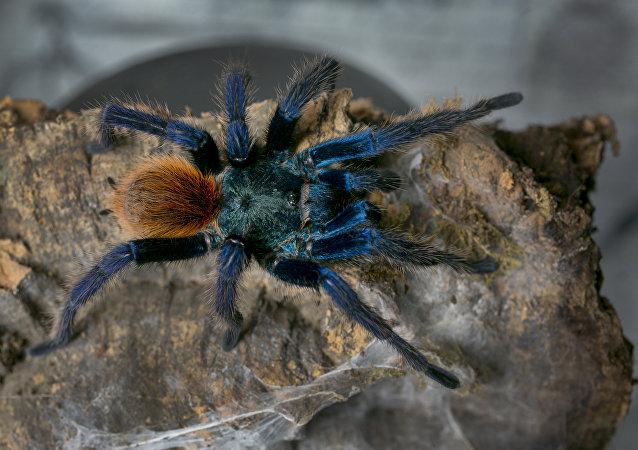 عنكبوت رتيلاء