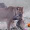 كلب بري شجاع ينقذ صديقه من بين أنياب لبؤة جائعة